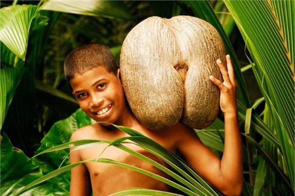 زهرة الخليج فاكهة الحب الغريبة تنمو فقط في جزر السيشيل